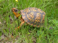 BoxTurtle-SouthCheshire-5-9-06small